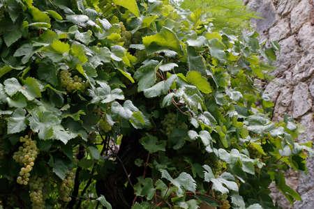 wine growing: wine growing