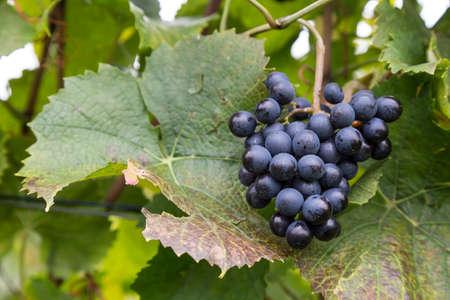 winegrowing: wine-growing