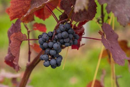 biological vineyard: wine-growing