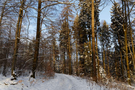 wintery: wintery forest