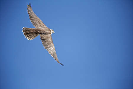 flying falcon: Flying Falcon