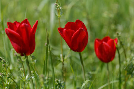 stench: red tulips
