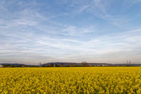 agro: rapeseed field with blue sky