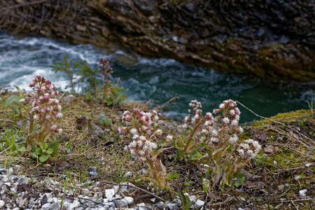 tree marigold: Alpine Flowers Stock Photo