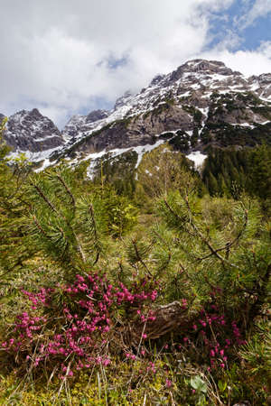 tree marigold: in the austrian alps