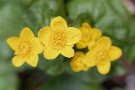 snapdragon: Alpine Flowers Stock Photo