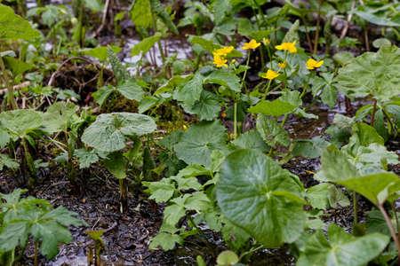 snapdragon: marsh marigold