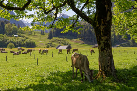 cows in the austrian apls Stock Photo