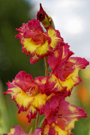 odour: gladiola