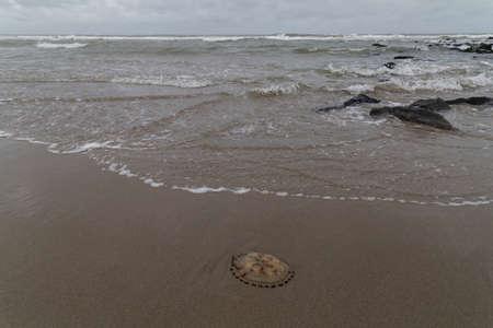 sea slug: Jellyfish