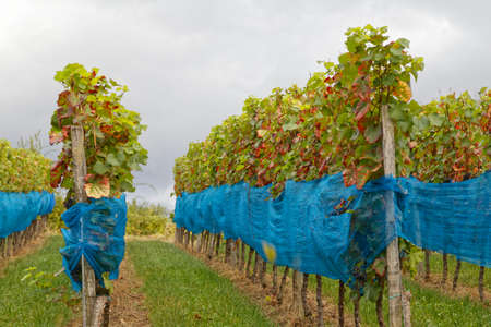 winegrowing: winegrowing