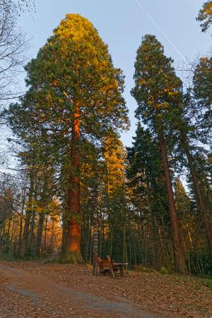 sequoia: giant sequoia redwood tree Stock Photo