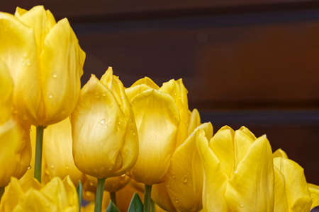 yellow tulips with text space for greeting cards Stock Photo