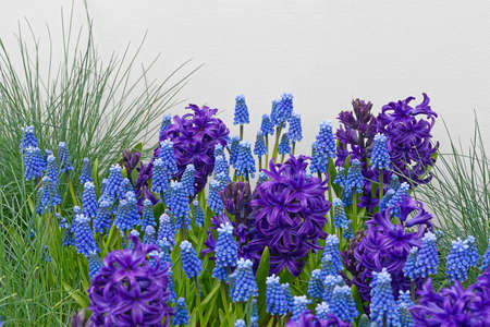 blue grape hyacinths with text space for greeting cards Stock Photo