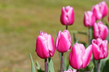 tulips with text space for greeting cards