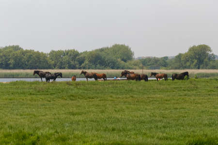 wild horses in England Stock Photo