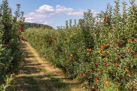 apple tree plantation Stock Photo