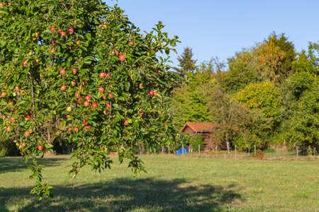 apple tree on a meadow