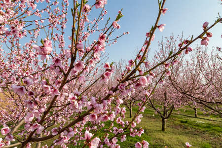 pink peach tree blossoms