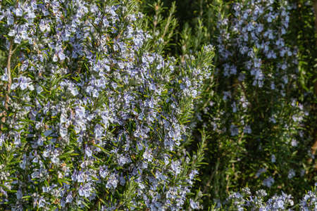 blue blooming rosemary 스톡 콘텐츠