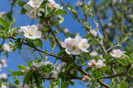 white apple tree blossoms