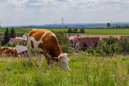 Happy dairy cow in german region Odenwald 스톡 콘텐츠