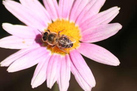 Honey bee on pink flower photo