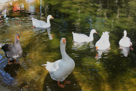 Ducks and Geese at the Agios Nikolaos Park Naousa Greece