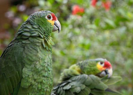 loros verdes: dos loros verdes mayor zool�gico de colores de imagen