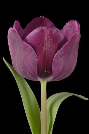 purple tulip black close-up flower petal color photo