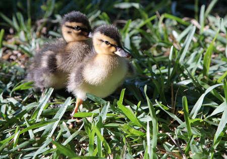 flappers: dos patos aletas lindo patito de aves silvestres Foto de archivo