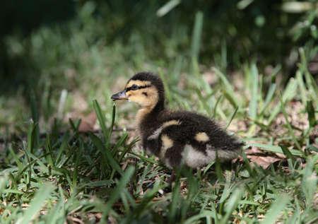 flappers: pato verde trampa de aves silvestres de color amarillo a pie