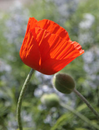 with fondness: poppy two red love fondness couple flower