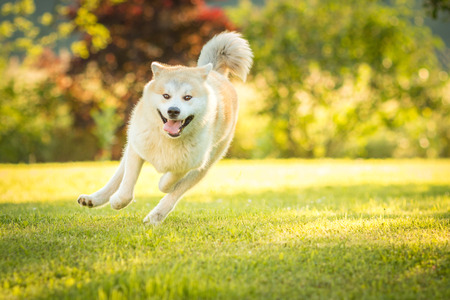 Red Akita Inu dog running wildly in a park with open mouse. Stock Photo