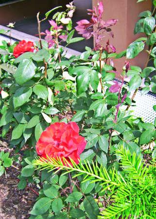 rosas rojas: Rosas rojas en un jard�n