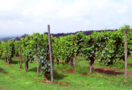 Vineyards in the sun near Vigolzone, Italy