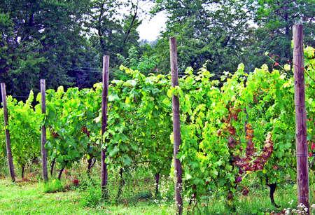 Vineyards - Vigolzone, Italy
