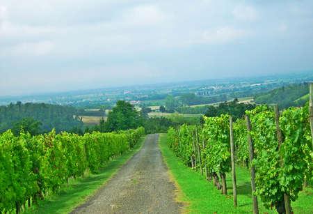 Street between vineyards - Vigolzone, Italy