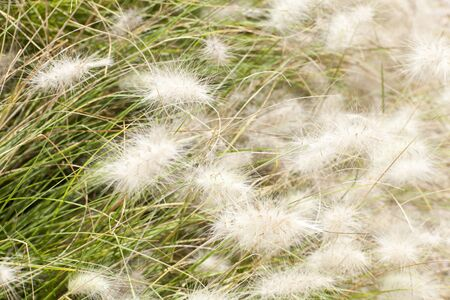 whiff: grass with fluffy, gentle flowers are shaking on the wind