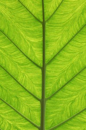 nervure: La textura de una hoja grande de Alocasia. Foto de archivo