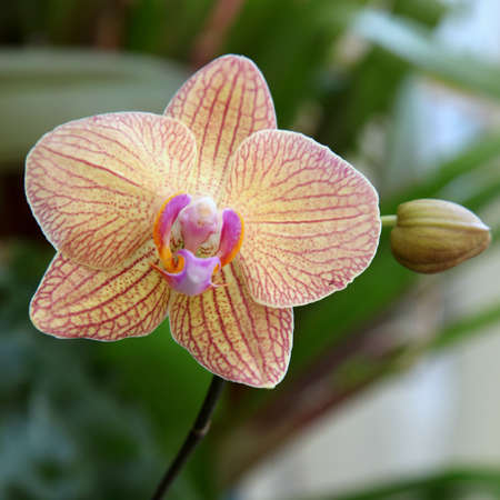 nervure:  pink orchid with a bud Stock Photo