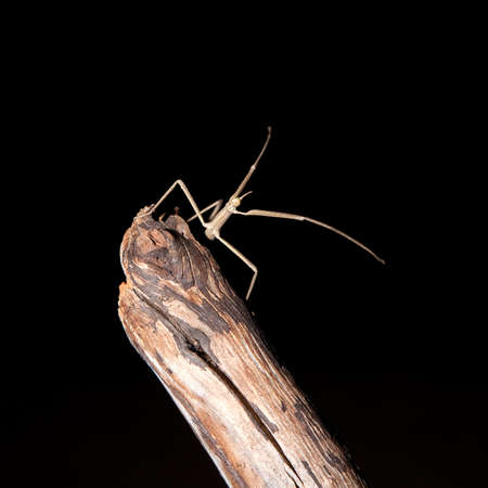 likeness: Stick insect on a branch