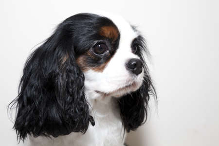 Portrait of a cavalier king charles Stock Photo - 11543919