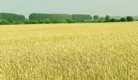 genetically modified crops: Cereal plant of organic farming