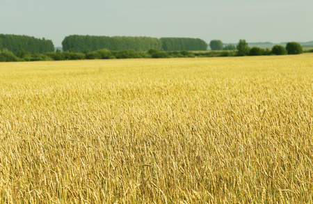 cereal plant: Cereal plant - wheat, barley, rye or oats.