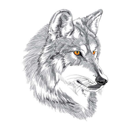 isolated on gray: Wolf muzzle sketch Illustration