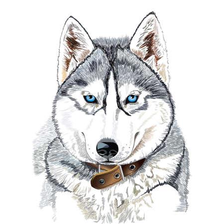 흰색 배경에 고립 시베리안 허스키 머리의 벡터 초상화 일러스트