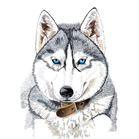 Vector portrait of Siberian husky head isolated on white background