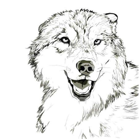 Wolf muzzle sketch Illustration