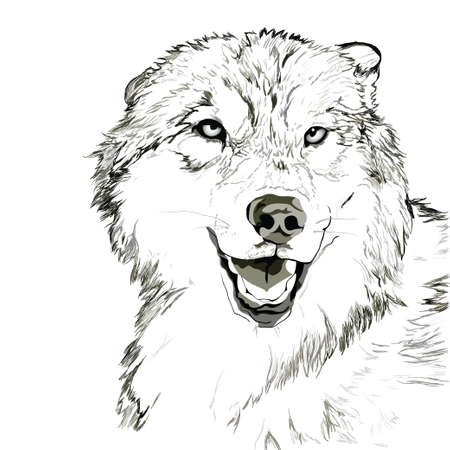 wolf head: Wolf muzzle sketch Illustration
